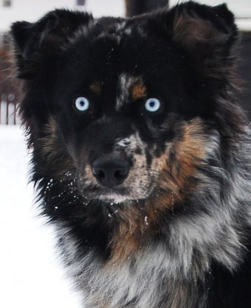 Blue Eyes in Non-Merles - Australian Shepherd Health
